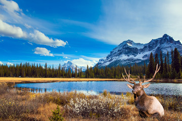 Gorgeous Canadian deer resting