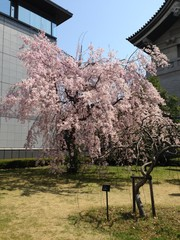 Cherry Blossom in front of an Old House
