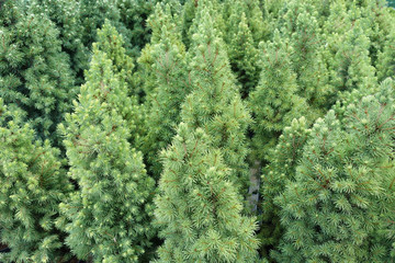 Close up shot of the small young pine trees