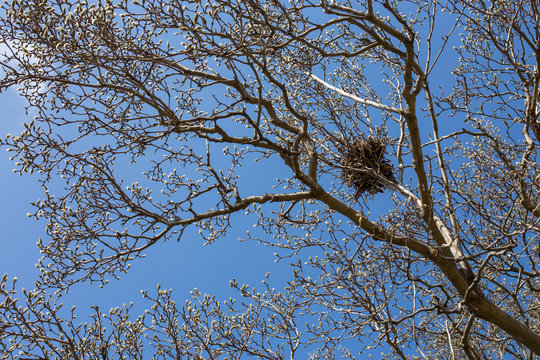 Magnolia Tree on US Capitol Grounds in Early Spring Squirrel Nest
