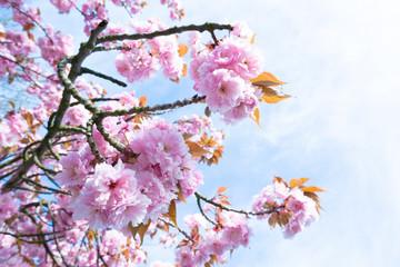Flowering sakura trees against the sky