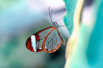 Printed roller blinds Butterfly Glasswing Butterfly (Greta oto) in a summer garden