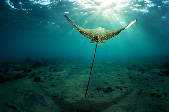 Eagle ray hovers over the sea bottom