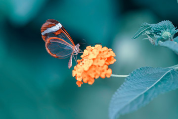 Acrylic Prints Butterfly Glasswing Butterfly (Greta oto) in a summer garden