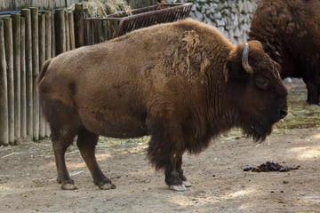 Wall Mural - Plains bison, also known as the prarie bison.