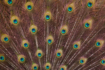Wall Mural - Plumage of the Indian peafowl (Pavo cristatus)