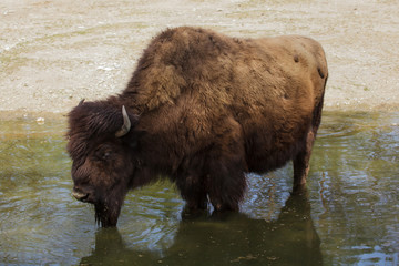 Fototapete - Wood bison (Bison athabascae).
