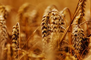 Wall Mural - Ears of golden wheat