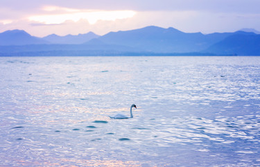 A swan is floating on the water. Beautiful gentle evening in blue shades sunset overlooking Lake Garda, the Alps, mountains