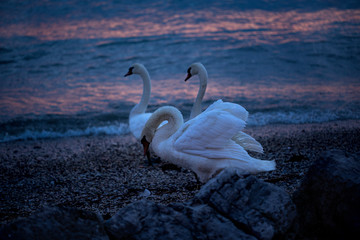 Beautiful Swans live on Lake Garda, Italy. Alps, mountains. Delicate sunset in blue shades