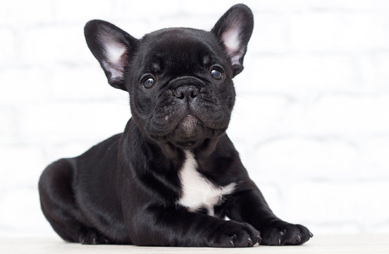 french bulldog puppy is looking