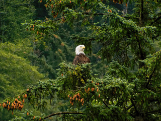 Eagle In a Spruce