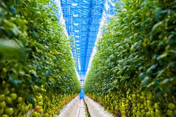 Rows of tomato plants growing inside big industrial greenhouse Fotoväggar