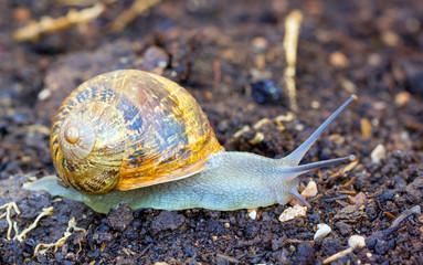 Garden snail (Helix Aspersa) on a walk after the rain.