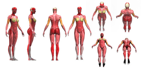 Female muscle anatomy multiple poses disolated 3d render