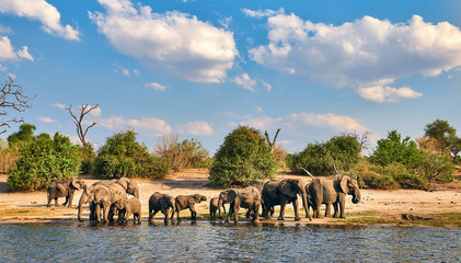 Herd of elephants (Loxodonta africana).