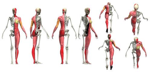 Half muscle half skeleton multiple view of female body anatomy 3d render