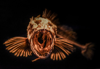 Scary skeleton of a fish from the very deep sea on display.