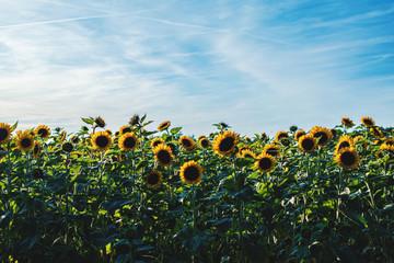 Feld voller Sonnenblumen im Sommer
