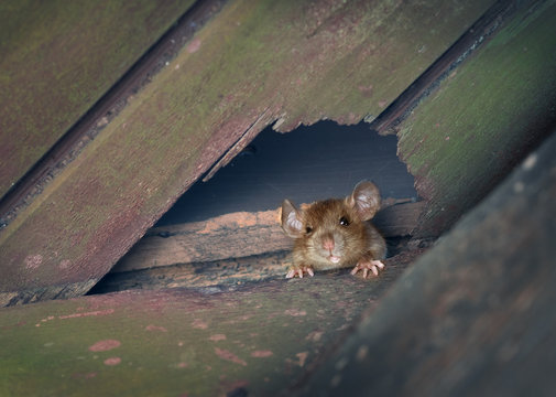 The ship rat, roof rat, or house rat peeps through a hole in the ceiling