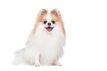 Full length picture of long haired spitz isolated on white