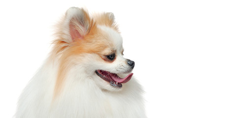 Wide close-up picture of a white spitz looking to the side