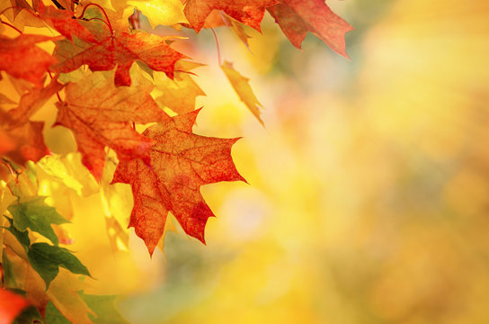 Colorful autumn maple leaves on a tree branch. Golden autumn foliage leaves background with copy space.