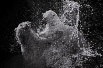 Two white polar bear fight in water in black and white. Concept of fighting and competition in  business and market
