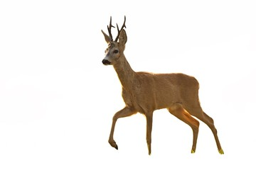 Foto auf Acrylglas Reh Roe deer, capreolus capreolus, buck walking in summer at sunset isolated on white background. Cut out wild animal with leg in the air.