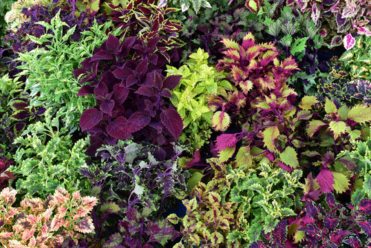 Coleus. Red, yellow, green, orange leaves,  coleus plants with their bright colors.