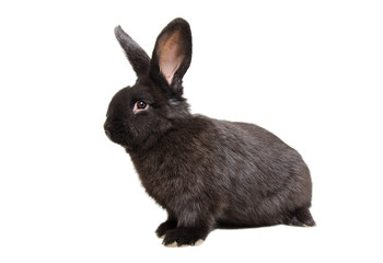 Curious black rabbit sitting isolated on a white background