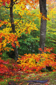 beech trees in colorful foliage. wonderful nature background. hazy atmosphere