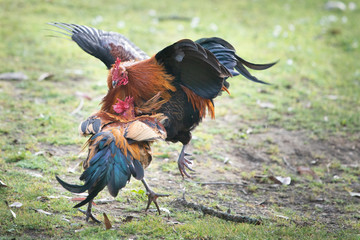 Two wild roosters fighting in the Western Spring park