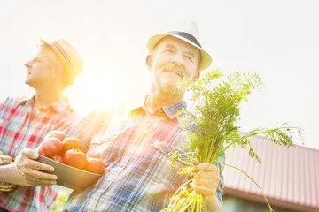 Senior farmer carrying tomatoes and carrots with yellow lens flare in background
