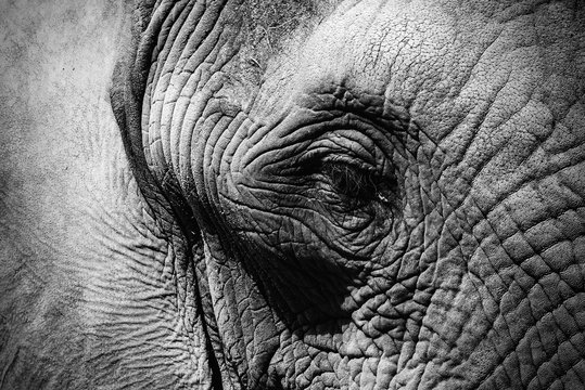 close up of an elephant eye black and white