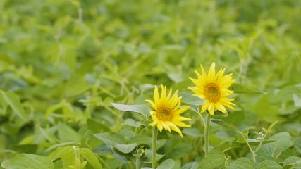 Fototapete - Two sunflower wormed his way into the soybean field. Scenic landscape agricultural land. Beauty nature, agriculture.