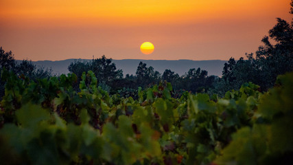 Sunset on a vineyard rows.