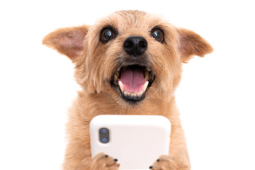 Norfolk Terrier dog using smart phone