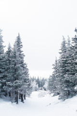 Fotobehang Bomen Beautiful snowy winter forest in the mountains