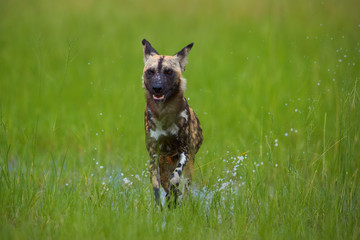 African Wild Dog, Lycaon pictus, running in the splashing water, directly at camera. Close up photo of african endangered predator on hunt.  Low angle photo, green Moremi, Okavango delta, Botswana.
