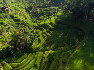 Tuinposter Bali Landscape of the ricefields and rice terrace Tegallalang near Ubud of the island Bali in indonesia in southeastasia. Aerial drone view.