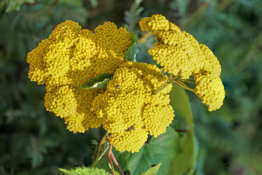 Bright yellow flower clusters of blooming achillea Moonshine yarrow. Close-up, selective focus, shallow depth of field.