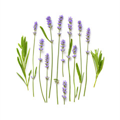 Lavender flowers round pattern on a white