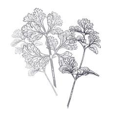 Coriander or cilantro. Illustration of garden fragrant herbs.