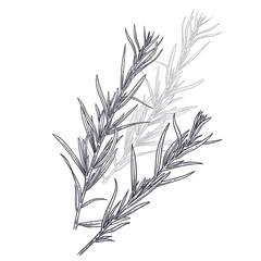 Estragon or tarragon. Illustration of garden fragrant herbs.