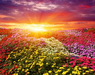Fototapete -  flower field with sunlight