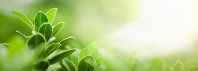 Close up of nature view green leaf on blurred greenery background under sunlight with bokeh and copy space using as background natural plants landscape, ecology wallpaper or cover concept. Fotomurales