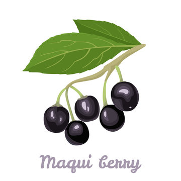 Maqui berry isolated on white Background. branch of fresh healthy berries and green leaves. Vector illustration of superfood in cartoon flat style. Icon of Aristotelia chilensis or Chilean wineberry.