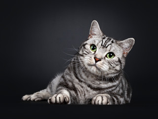 Handsome silver tabby British Shorthair cat, laying down facing front tilted to the side. Looking at lens with mesmerizing green eyes. Isolated on black background.