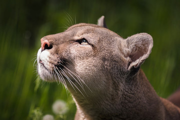 The cougar (Puma concolor), catamount, mountain lion, panther, puma